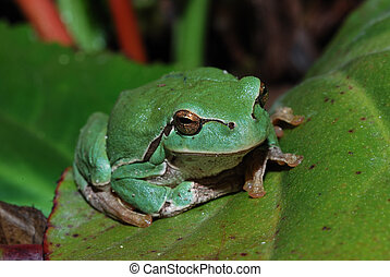 frog sitting on a leaf - little green frog is sitting on a...