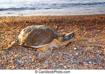 Wood Turtle Glyptemys insculpta - Female Wood Turtle...