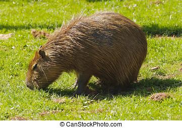 Capybara - Close up of a Capybara (Hydrochoerus...