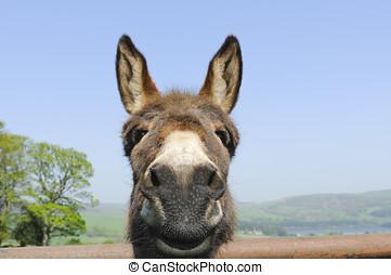 Donkey looking over gate in Bradfield Dale Peak District...