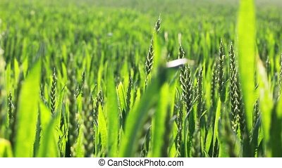 Wheat field - fresh wheat field with camera motion