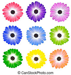 Colorful Daisy Flowers Isolated on White