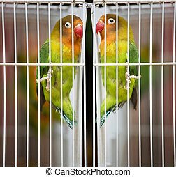 Bird - Pet Lovebirds at a local pet store.The Fischer's...