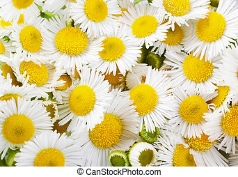 chamomile - the flower chamomile close up
