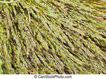 grass - texture of dry grass