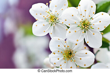 spring flowers - blossoming spring flowers of apricot to...