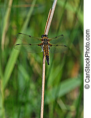 Four-Spotted Chaser Dragonfly 2