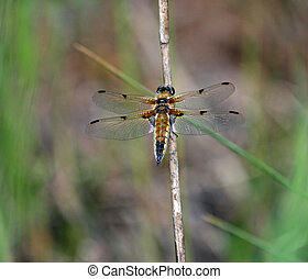 Four-Spotted Chaser Dragonfly 3