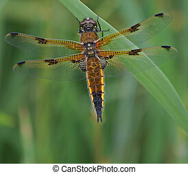 Four-Spotted Chaser Dragonfly 4
