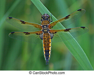 Four-Spotted Chaser Dragonfly 5