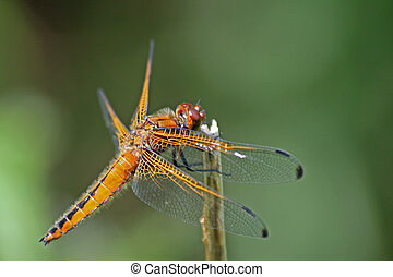 Scarce Chaser Dragonfly 3