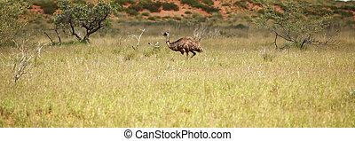 Foraging - Emu foraging in the bushland, Western Australia.