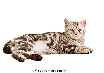 Scottish fold kitten lying agains white background