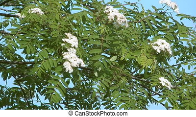 Blossoming ashberry - Spring flowering mountain ash against...