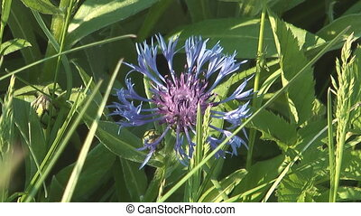 Bachelors-button - Close up shot of beauty blue cornflower...