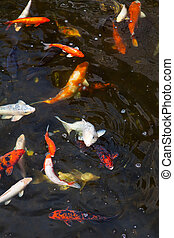 Fishpond - colorful trouts swimming around in a fishpond...