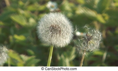 Blowball. - Fluffy dandelion in the field on a sunny day.