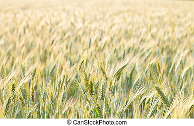 wheat field - close up view of a wheat field in the country...
