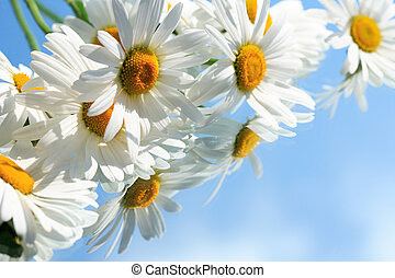 Ox-Eye Daisy Flowers - Extreme closeup of ox-eye daisy...