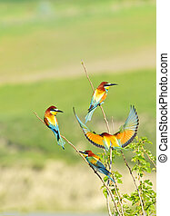 europe, Bee-eater