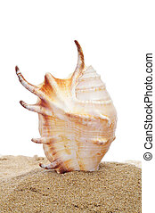 conch on the sand - a conch stuck on the sand