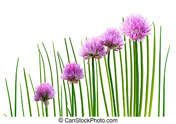 Chives plant with flowers isolated on white
