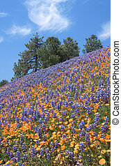 Lupine Poppy Hill - Poppies and lupine blooming on a...