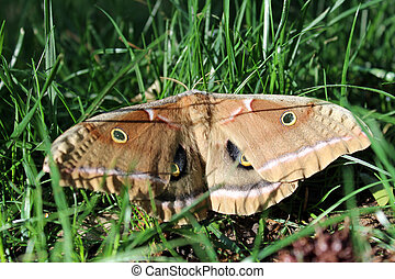 macro of a Polyphemus Moth in grass