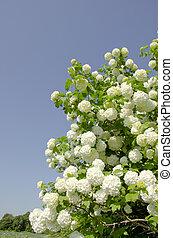Viburnum. Snowball blooms. - Snowball. Viburnum. Amazing...