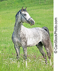 beautiful grey horse in green field