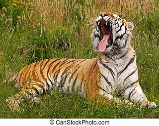Yawning Siberian tiger lying in the grass