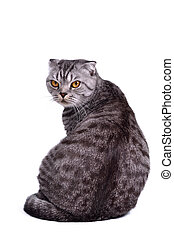 Scottish fold cat sitting isolated, looking at camera - Back...