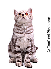 Isolated scottish fold kitten sitting looking up