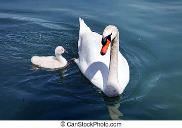 Swan in the water - A swan swims in a lake with his boys