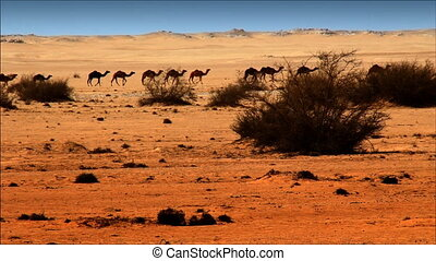 Camels walking through desert,video HD 1080