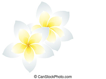 white frangipani - Vector illustration of two white...