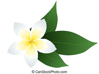 Jasmin - Vector illustration of frangipani with leaves