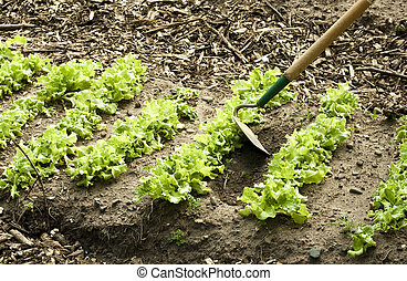 Spring lettuce bed - weeding a lettuce row with a hoe