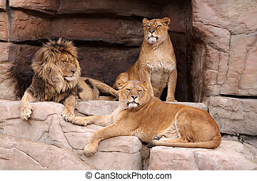 Pride of lions - The male lion and two lionesses on the...
