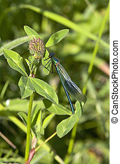 banded,  agrion, macho,  Damselfly
