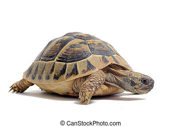 Tortoise - Testudo hermanni tortoiseon a white isolated...