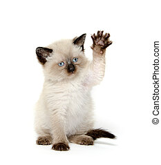 Cute cat with paw up - Cute baby kitten waving its paw on...