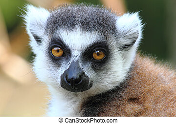 lemur monkey  - small head of very nice lemur monkey