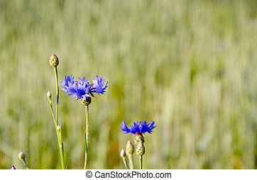Cornflower. - Blue cornflower on a background of subdued...