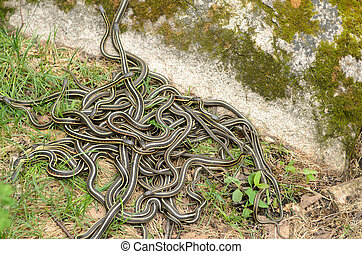 Snake Den - A pile of garter snakes intertwined on the...