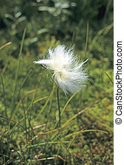 Cottongrass with fluffy mass