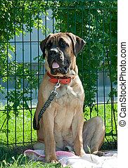 Mastiff - Big beautiful mastiff on green grass, summer sunny...