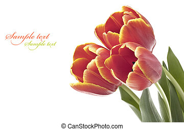 beautiful fresh red tulip for your design