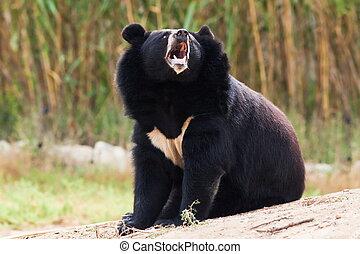 wycie, Tybetańczyk, Niedźwiedź