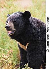 Tibetan bear roar ferocity - tibetan bear roar ferocity in...